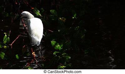 Snowy Egret, Egretta thula, in mangroves