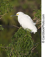 Snowy Egret, Egretta thula, with breeding colors and green ...
