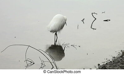 snowy egret fishing - a snowy egret fishes in shallow water...