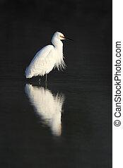 Snowy Egret - Florida - Snowy Egret (Egretta thula) wading...
