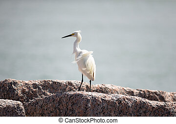 Snowy egret, has bright white plum and yellow feet