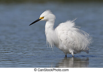 Snowy Egret in breeding plumage - Pinellas County, Florida