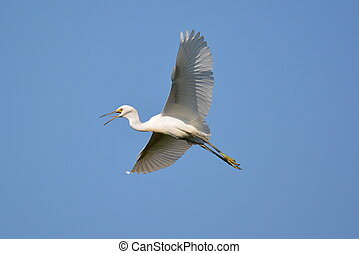 Snowy egret in flight-3