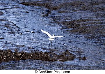 Snowy Egret in Flight over wetlands