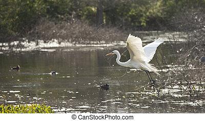 snowy egret in flight - snowy egret in breeding plumage ...