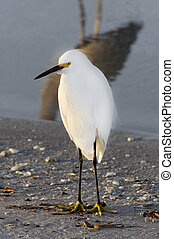 Snowy Egret in Gray Heron Shadow - A white snowy egret with ...