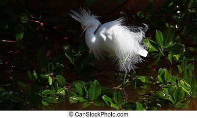 Snowy Egret in mangroves - Snowy Egret, Egretta thula, in...