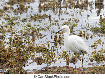 Snowy Egret in marsh