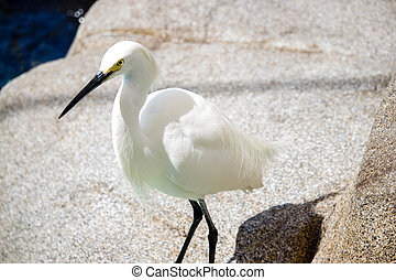 Snowy Egret is a small white heron.