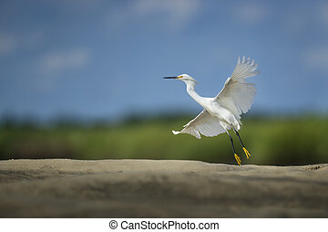 Snowy Egret Liftoff - A white Snowy Egret lifts off the...