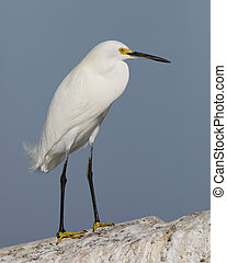 Snowy Egret perched on a concrete seawall - Pinellas County, Florida