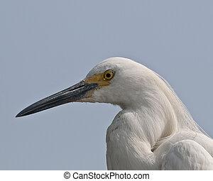Snowy Egret Portrait - Snowy Egret closeup