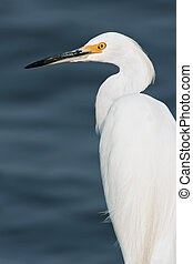 Snowy Egret portrait with blue water background.