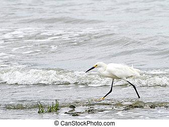 Snowy egret running on beach - Snowy egret running on the ...