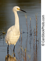 Snowy Egret standing in a shallow pond- Florida