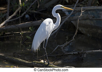 Snowy egret standing in mangrove sw - Snowy egret in ...