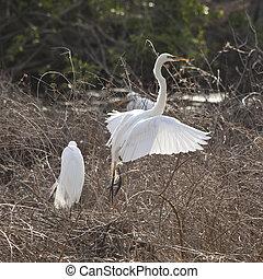 snowy egret taking flight
