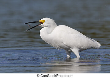 Snowy Egret tossing a small fish in the air - Florida