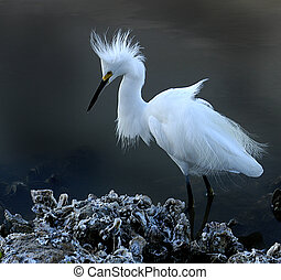 Snowy Egret wading along shoreline