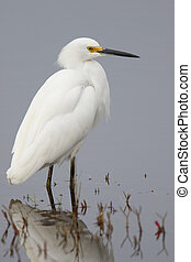 Snowy Egret wading in a shallow marsh - Florida