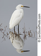 Snowy Egret wading in a shallow marsh - Florida - Snowy...
