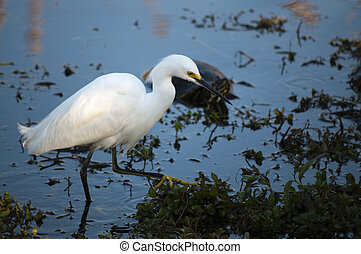 Snowy egret wading in water