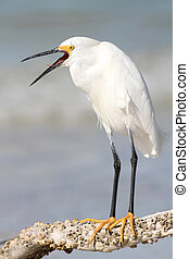 Snowy Egret with Beak Open