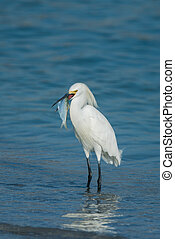 Snowy Egret with fish.