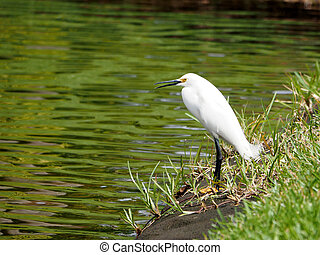 Snowy Egret with Open Beak by Lake