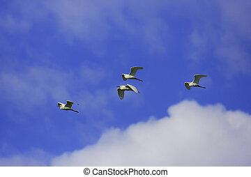 Snowy Egrets (Egretta thula) flying