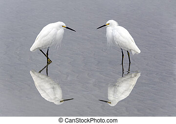 Snowy Egrets Facing Each Other - Two snowy egrets facing ...