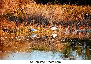 Snowy Egrets Feeding at Dusk Wildlife Refuge Florida