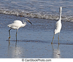 Snowy Egrets in the surf