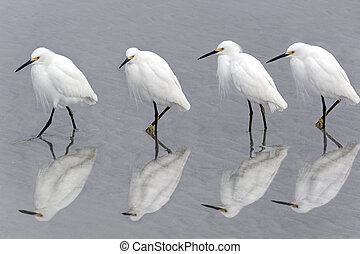 Snowy Egrets Walking on Beach - Four snowy egrets walking ...