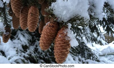 Snowy evergreen cones. Snow frosty afternoon.