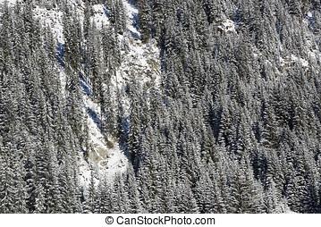Snowy fir trees on a mountain