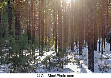 Snowy Forest on a Sunny Winter Day with Pine Trees Shadows.