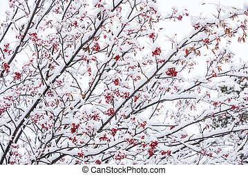 Snowy japanese rowan tree fruit and leaves in Biei, Hokkaido