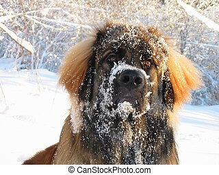 Snowy leo... - A young leonberger after a dip in the snow.