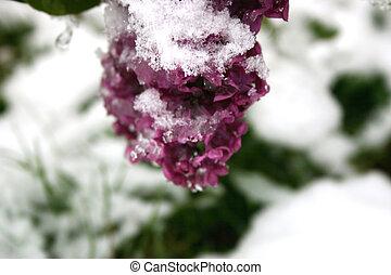 Snowy Lilacs
