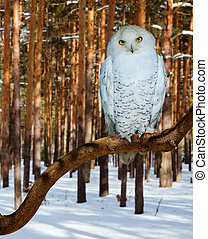 Snowy Owl at pine forest
