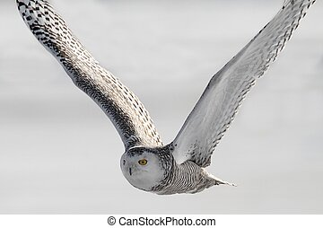 Snowy Owl (Bubo scandiacus) in flight over a snow-covered ...