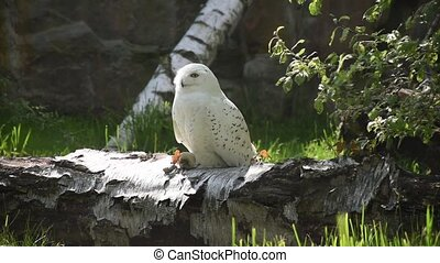 Snowy owl (bubo scandiacus) sitting in birch log. Nature awakening from winter. Quebec?s official bird