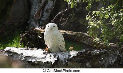 Snowy owl (bubo scandiacus) sitting in birch log. Nature awakening from winter. Quebec?s official bird