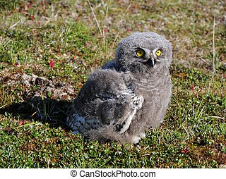 snowy owl chick (Bubo scandiacus) is sitting on the grass