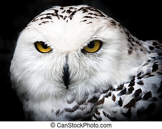 Snowy Owl - Close up portrait of a beautiful snowy owl