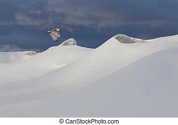 Snowy Owl Flying Over Frozen Shoreline - Ontario, Canada