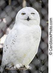 Snowy Owl In Captivity In A Local Zoo. The Snowy Owl (Bubo ...