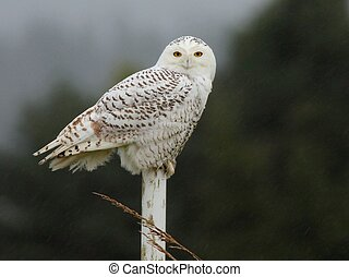 Snowy Owl in the Rain