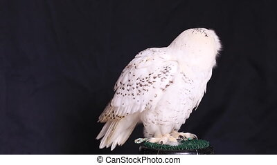 Snowy owl is a large diurnal Owl, with fairly rounded head,...